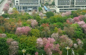 【柳州图片】四月,回我大柳州看紫荆花可好?