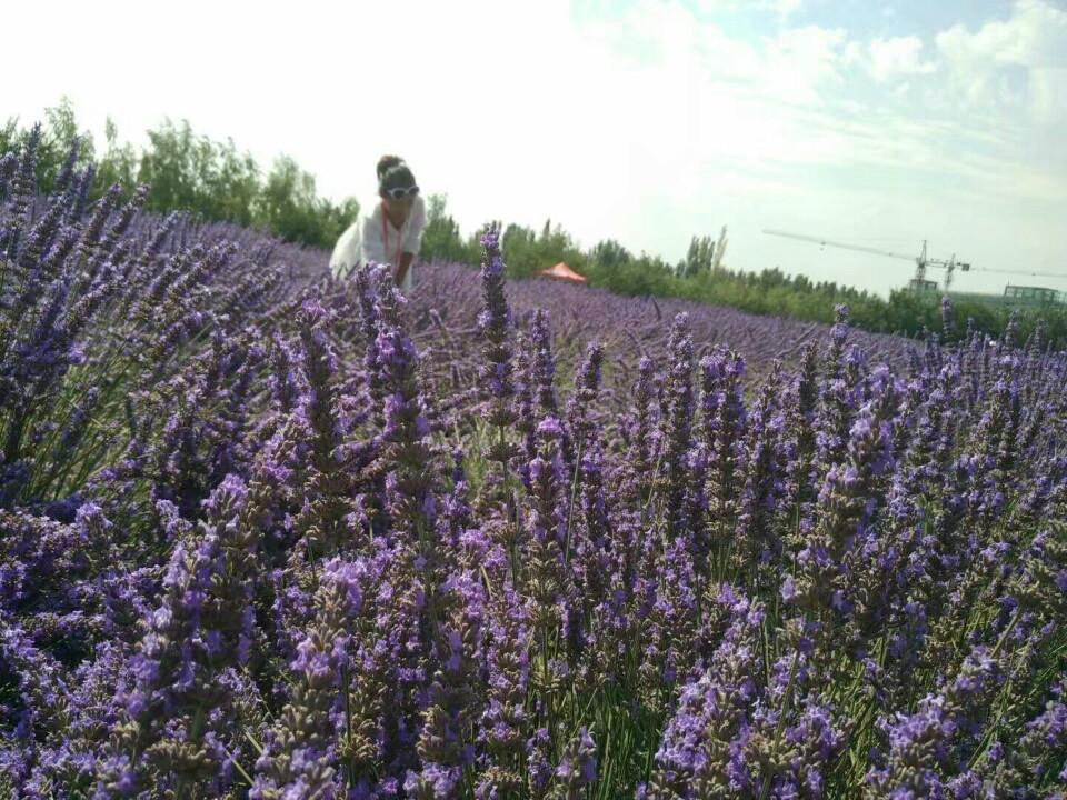 伊犁美丽的向日葵和薰衣草园