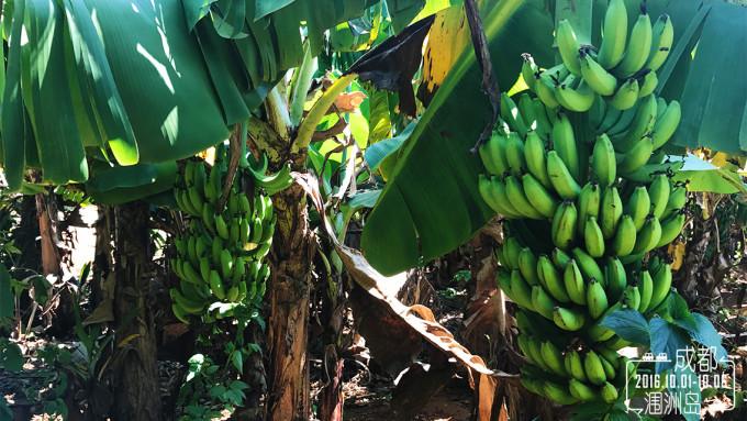 很多的香蕉树