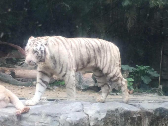 好可爱的熊宝宝 各种小婴儿啊 白虎是广州长隆野生动物园的一大特色