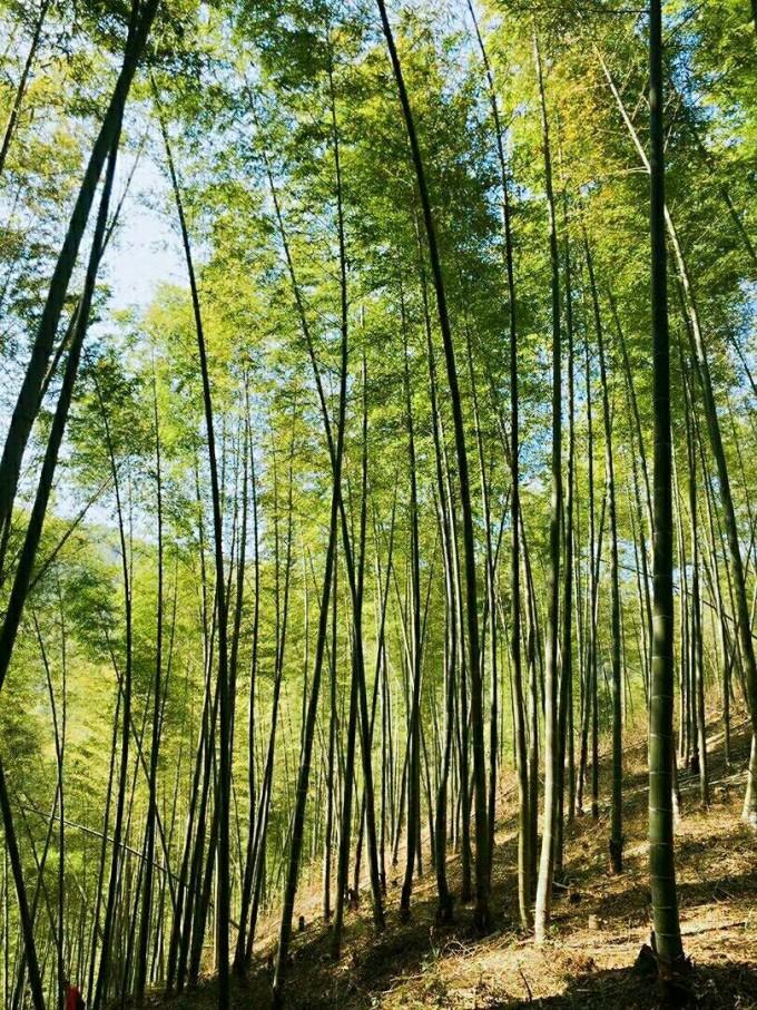 最美风景图片 竹林