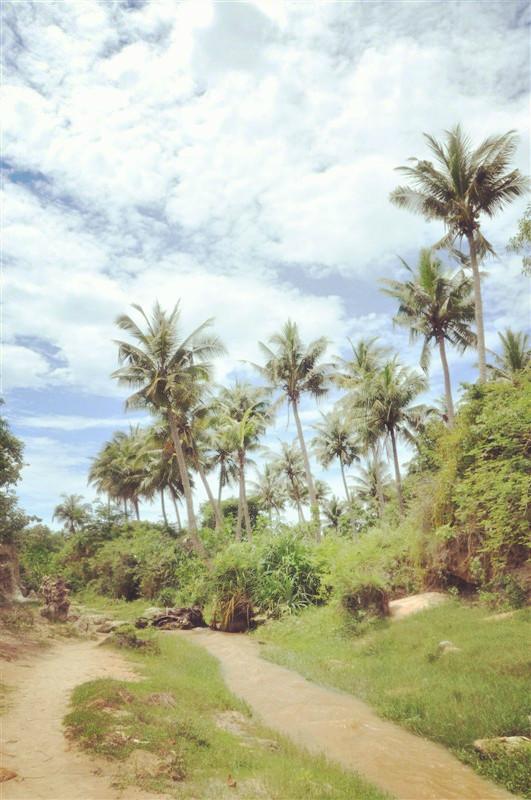 大王椰子不是椰子_大王椰子的椰子_大王椰子