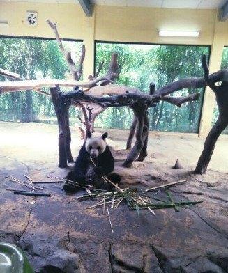 看到了青姐六毛九毛熊猫三胞胎,它们在吃竹子真的好贪吃的样子.