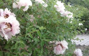 【永靖图片】#消夏计划#相约牡丹园