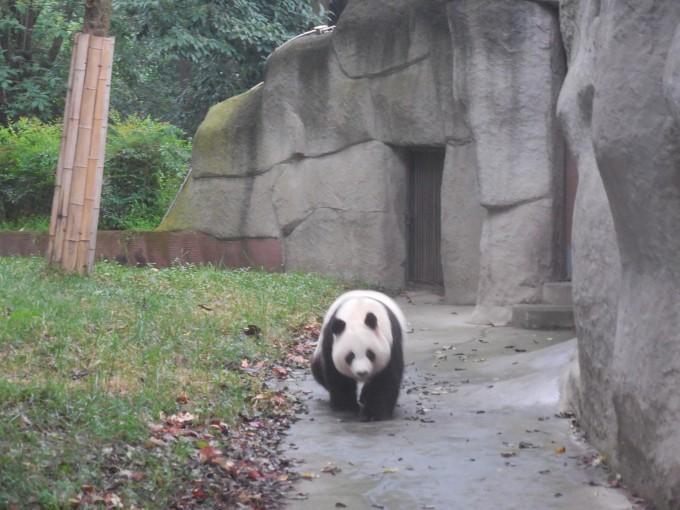 特别不知道你们有没有关注大熊猫基地的微博,每个星期有直播节目