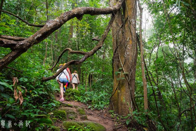 丛林飞跃,释放本真的自我 我们所体验的Flight Of The Gibbon,在Mae Kampong山区,这里是被公认的泰国最美热带雨林,更是灵长类动物野生长臂猿栖息的自然保护区。 在教练示范飞跃的正确姿势、重申安全事项,体验了几个简单的丛林飞跃之后,便是一段徒步路线。 走过吊桥,用脚步丈量热带雨林。雨后的小路有些泥泞,可呼吸的是纯净新鲜的空气,眼前所见的是参天大树,更何况还有新奇的野生动植物相伴,这样原始的美好,必须慢慢走进,慢慢深入。 惊喜的是,徒步的终点,真的看见了野生长臂猿,一点也没有被游人影