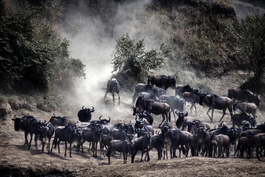 角马大军的迁徙——肯尼亚纪行(2)