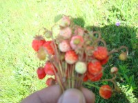 山顶上的天然美味,野生草莓